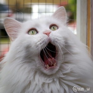 Turkish-Van-Cat-With-Open-Mouth